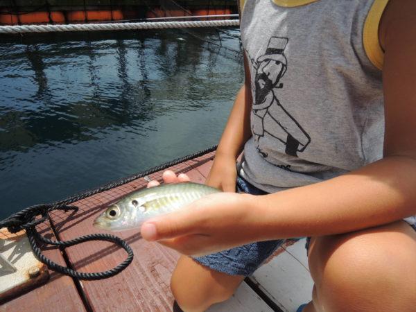 イルカ島の釣りでムロアジゲット
