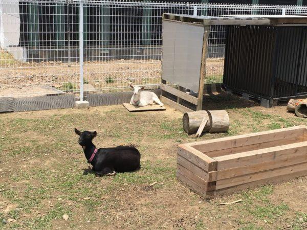 潮見坂の道の駅のヤギ